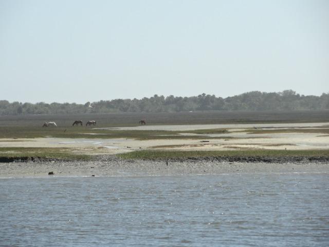 Cumberland Island Feral Horses